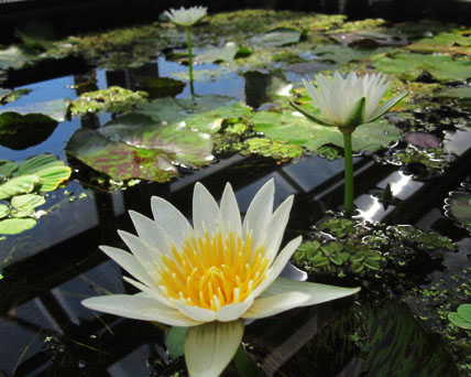 tropical water lilies