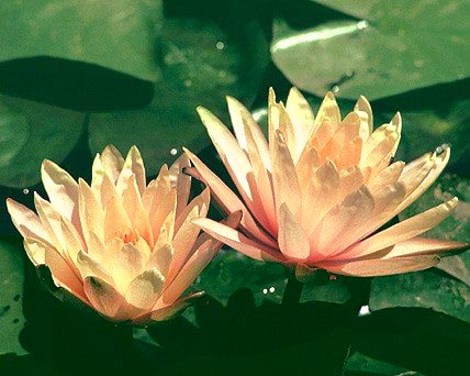 changeable water lilies